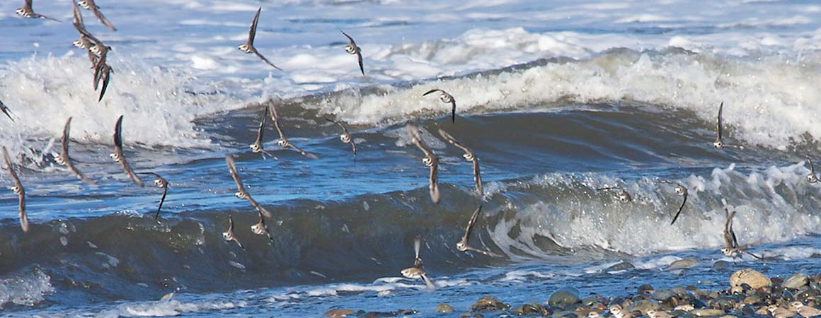 Pelicans flock flying above breaking waves