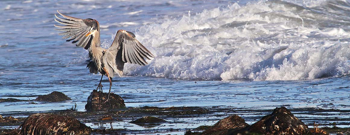 Pelican flapping its wings standing on intertidal rock