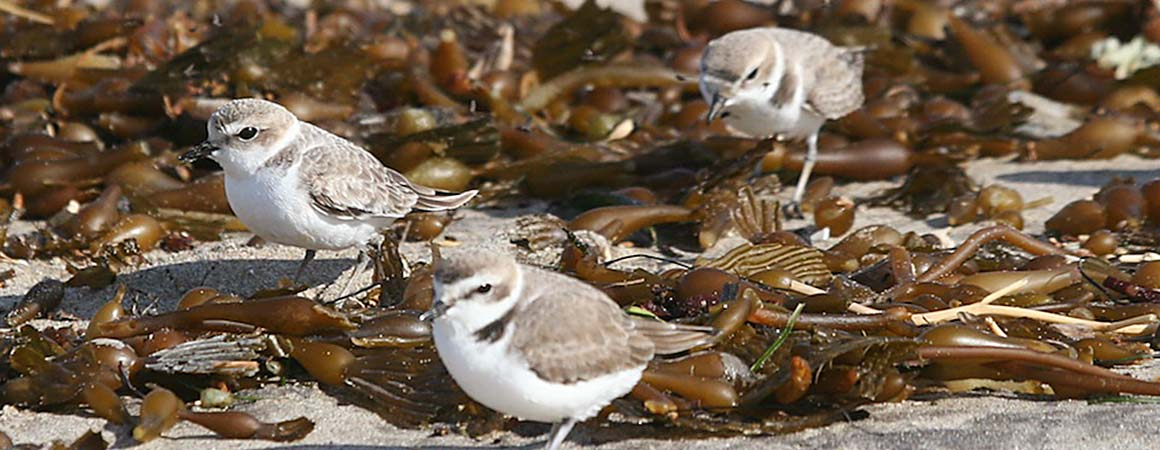 The sweet three, snowy plovers on kelp on the beach