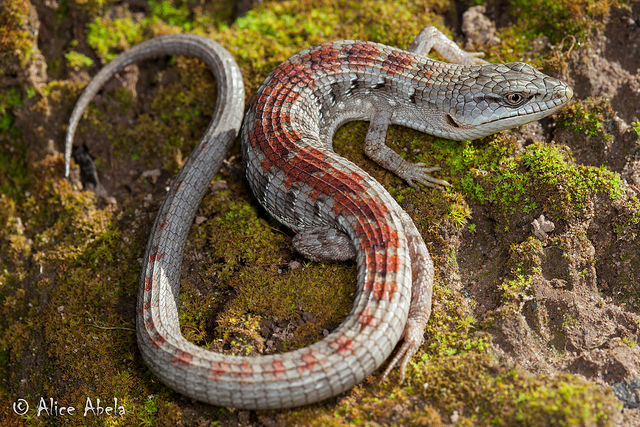 reptiles coil oil point reserve