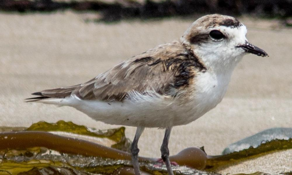 oiled plover