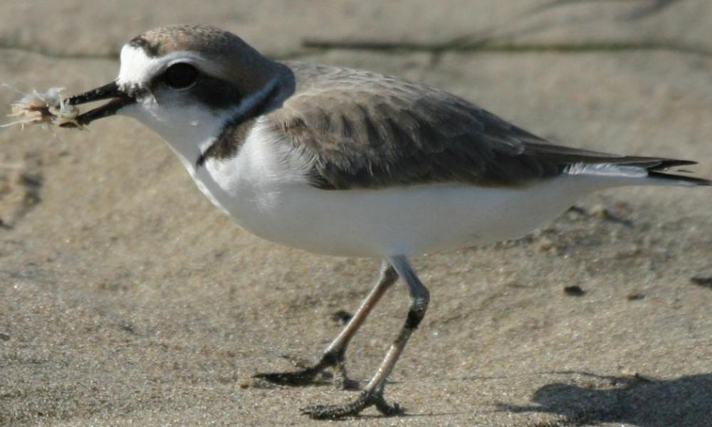 plover eating