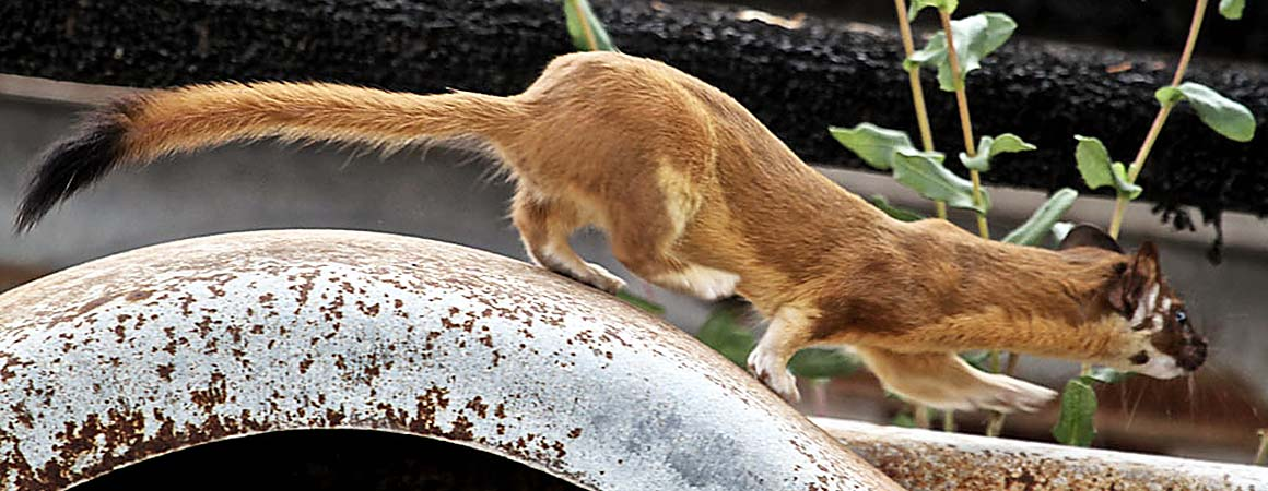 Weasel running on the edge