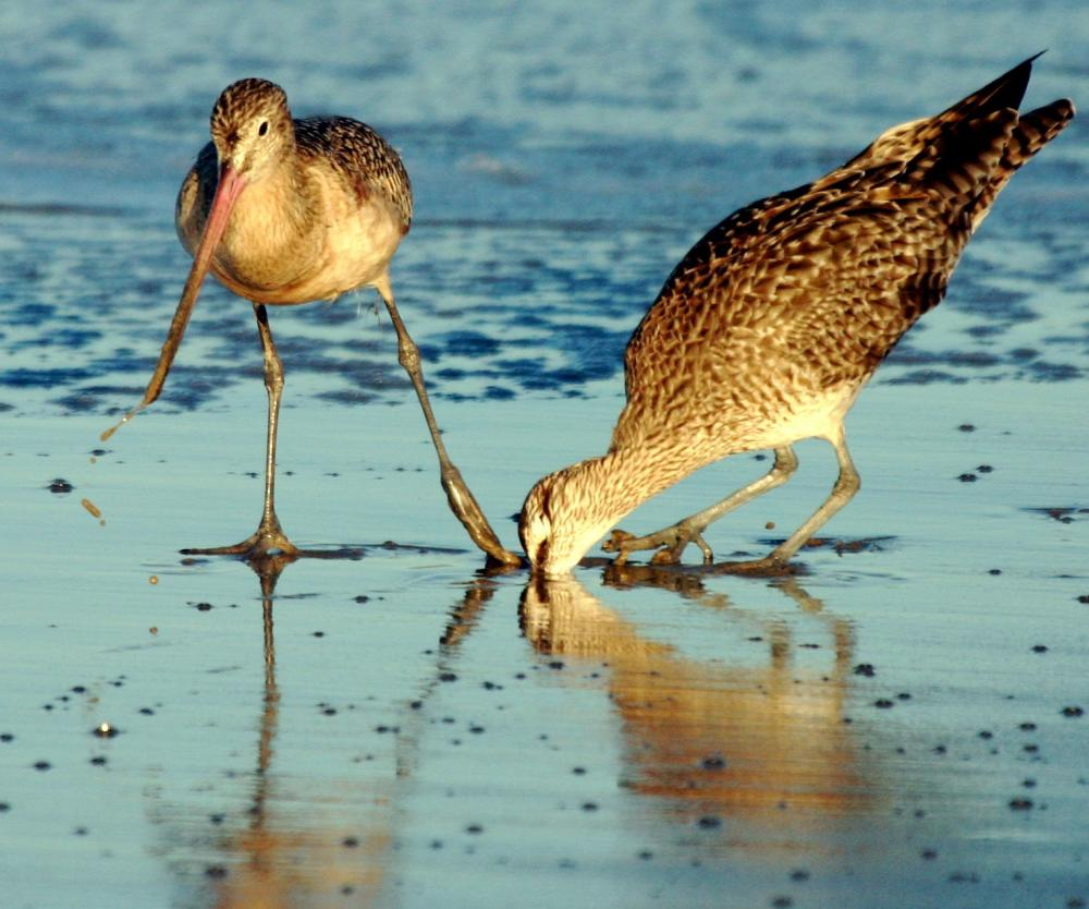 Two birds looking for food on wet shore