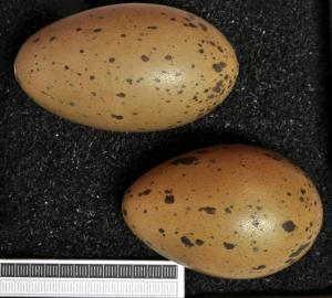Red-throated loon eggs