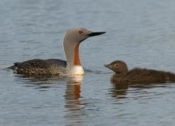 Adult in breeding plumage and recently hatched young